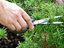 Sniffing Rosemary Can Increase Memory
